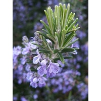 Rosemary Essential Oil - 5 ml with Dripolator
